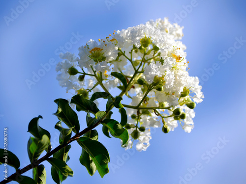 Fotografia  branch of tree with flowers on background of blue sky