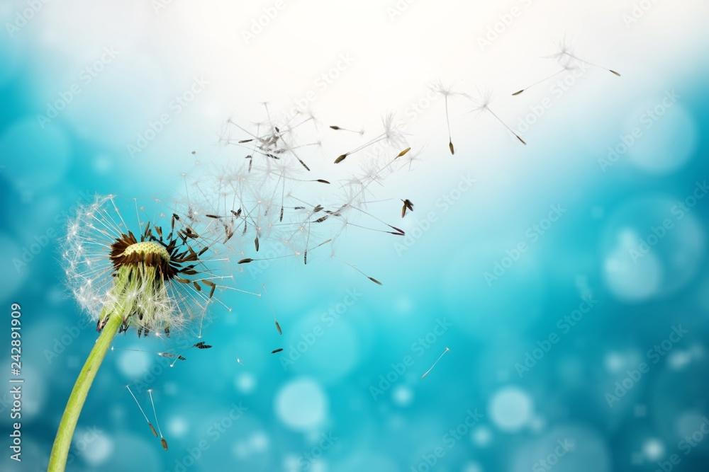 Fototapety, obrazy: Flying dandelion seeds isolated over white