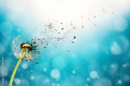 Foto auf Leinwand Lowenzahn Flying dandelion seeds isolated over white
