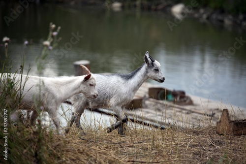 Photo Two young goats strolling along the shore of the pond