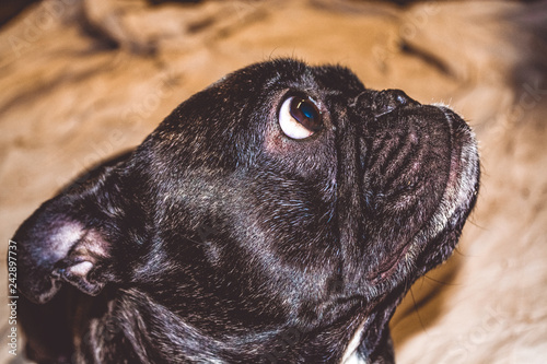 Cadres-photo bureau Panthère Little dog of black color with lovely eyes and large ears. Wrinkled muzzle. Pedigree. Breed of Kan Corso, French bulldog. Pet.