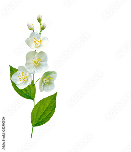 branch of jasmine flowers isolated on white background. Tableau sur Toile