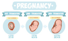Pregnancy By Trimester Stages...