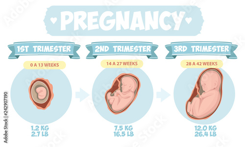 Valokuva  Pregnancy by trimester stages vector illustration