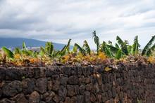 Canary Islands Banana Plantati...