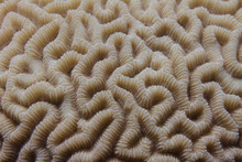 Brain Coral In Red Sea