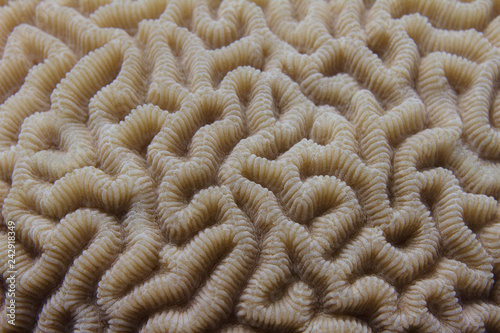 Brain Coral in Red Sea Wallpaper Mural