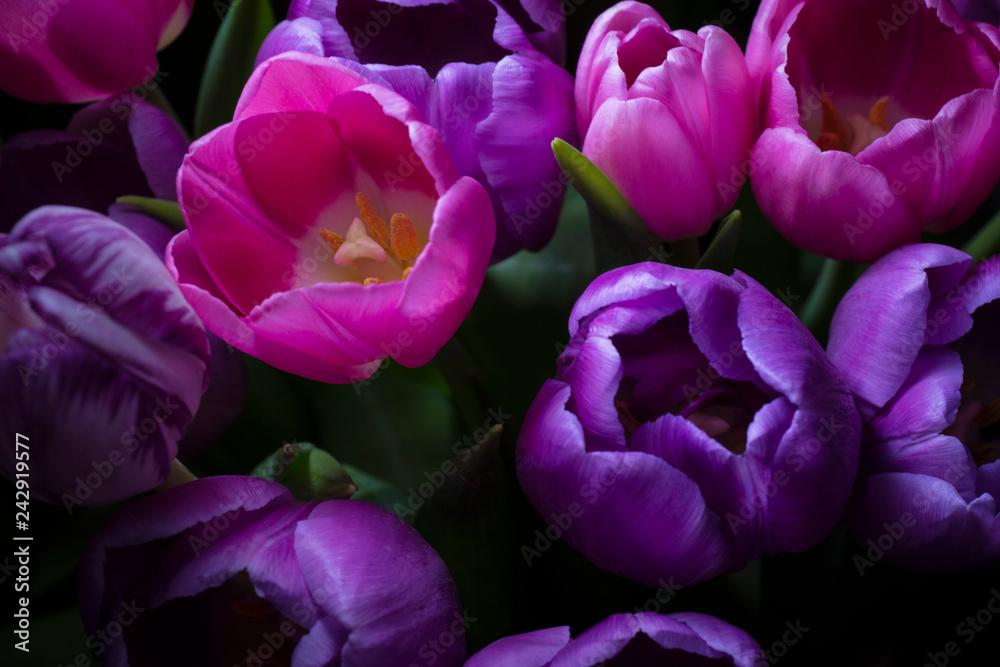 Fotografie, Obraz Back-lit tulips in darkness