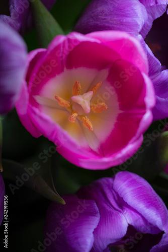Obraz na plátně Tulip on dark background close-up from top