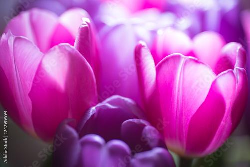Fototapeta Back lit tulips in the darkness