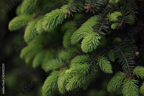 Young coniferous tree in the summer. Close-up picture. Fototapete