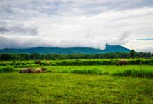 Buffalo On Field / Asian Buffalo Lying And Grazing Green Grass On The Field Nature Mountain Background
