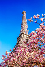 Eiffel Tower And Magnolias Blossom In The Spring, Paris, France
