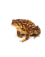 Brown And Yellow Toad Frog On ...