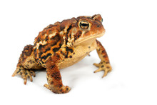 Brown And Yellow Toad Animal P...