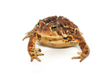 Brown And Yellow Toad On White...