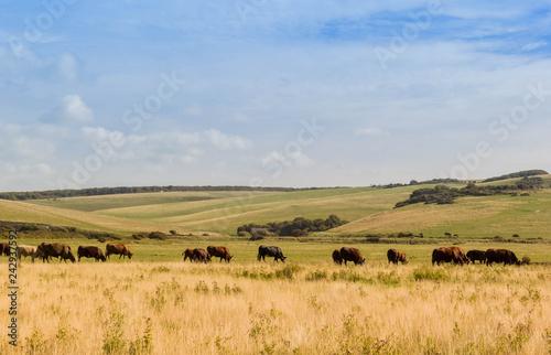 Fotografía Herd of cows in countryside field