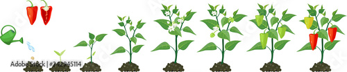Fotografie, Tablou Life cycle of pepper plant