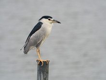 Black-crowned Night-heron, Nycticorax Nycticorax