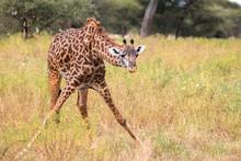 Giraffe In Tarangire National Park Tanzania