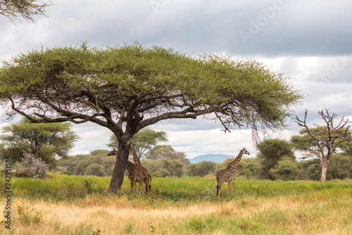Poster Afrique Giraffe in Tarangire National Park Tanzania