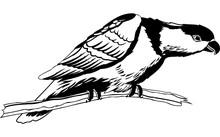Black Capped Lory Illustration
