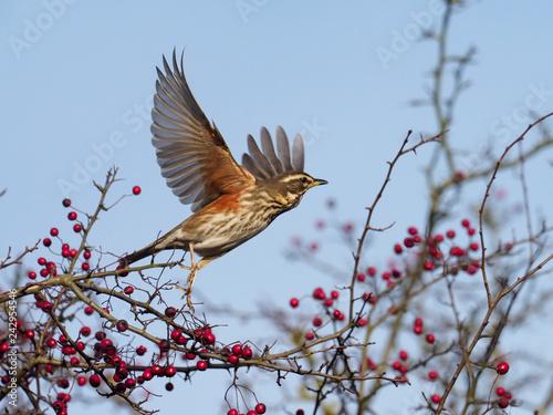 Fototapeta Redwing, Turdus iliacus