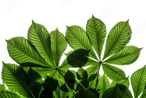Natural pattern of horse-chestnut, leaves. Isolated on white background.