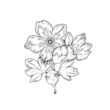 Sakura Flowers Blossom Bud, Hand Drawn Line Ink Style. Cure Doodle Cherry Plant Vector Illustration, Black Isolated On White Background. Realistic Floral Bloom For Spring Japanese Or Chinese Holiday