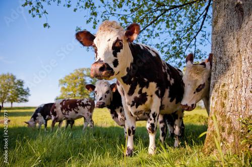 Stickers pour portes Vache Troupeau de vache dans les champ de France