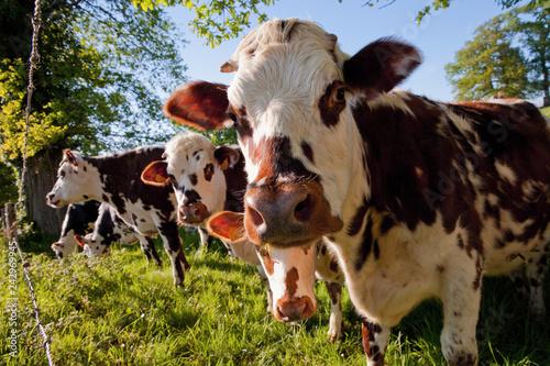Troupeau de vache dans les champ de France Fotobehang