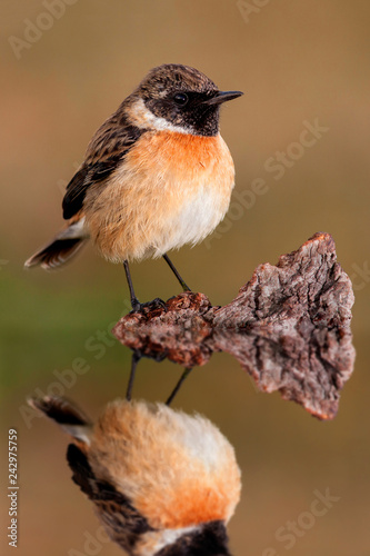Small bird sith its reflection Wallpaper Mural