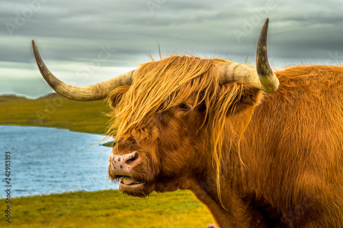 Fototapeta Highland Cattle With Long Horns In Scenic Landscape With Lake In Scotland obraz
