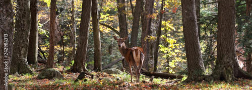 Fotobehang Hert red deer in forest during autumn