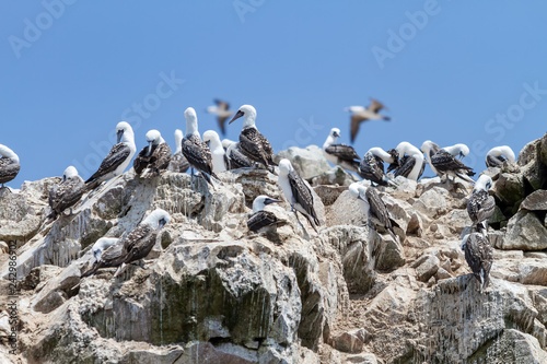 Fototapeta premium Peruwiańskie bobki na guanie w jednej z Wysp Ballestas (Paracas, Peru)
