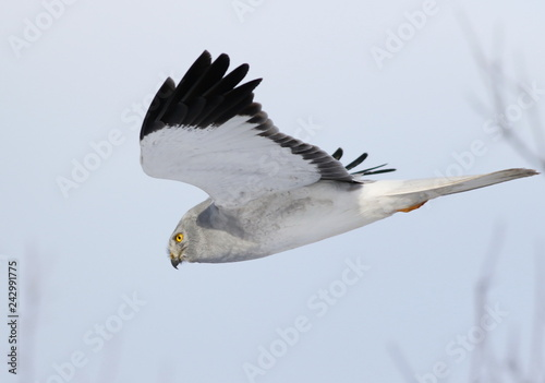 Hen harrier in flight, adult male (Circus cyaneus)
