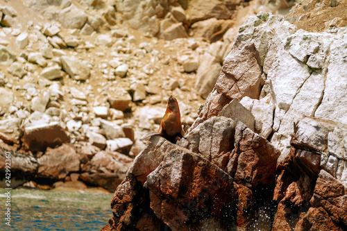 Naklejka premium Lew morski rozciągający się na skałach wysp Ballestas (Paracas, Peru)