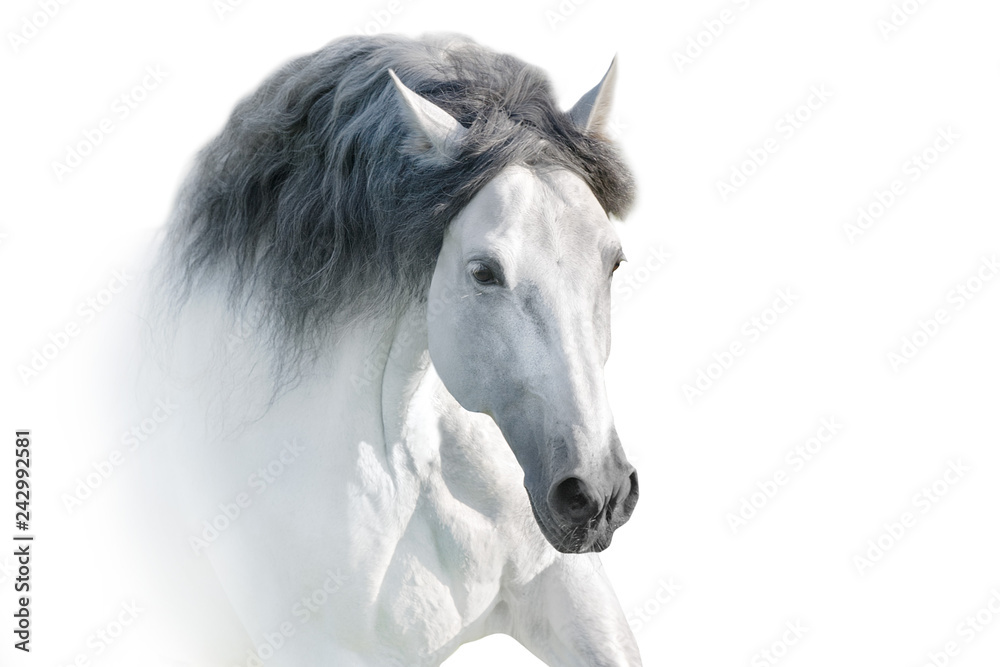Fototapety, obrazy: White andalusian horse portrait on white background. High key image