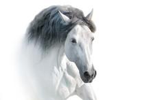 White Andalusian Horse Portrai...