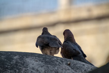 Two Laughing Doves Waiting Tog...