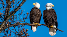 Mating Pair Of Bald Eagles On ...