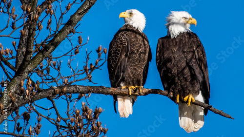 Fotografie, Obraz Mating pair of Bald Eagles on branch