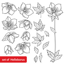 Vector Set With Outline Hellebore Or Helleborus Or Winter Or Lenten Rose, Bud And Leaves In Black Isolated On White Background. Ornate Flowers In Contour Style For Spring Design Or Coloring Book.