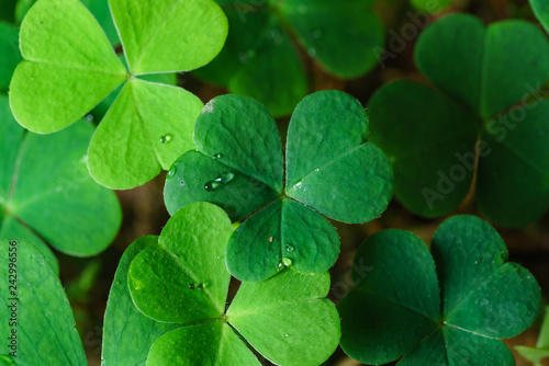 Fotografia, Obraz Clover Leaves for Green background with three-leaved shamrocks