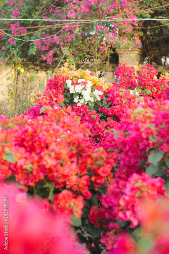 Canvas Print Bougainvillaea pot selling on street on Tet holiday
