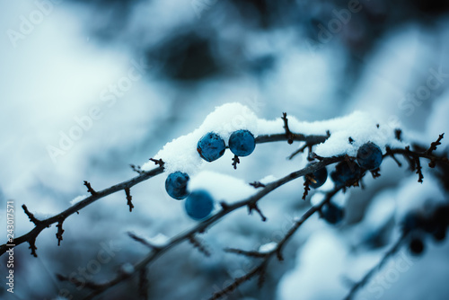 Blue blackthorn berries with winter background. Cold weather. Winter background.