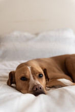 Brown Dog Lies On A Bed
