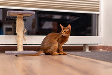 Abyssinian Cat Playing On The Floor In A Room Chasing Mouse.