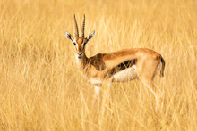 Thomson Antilope