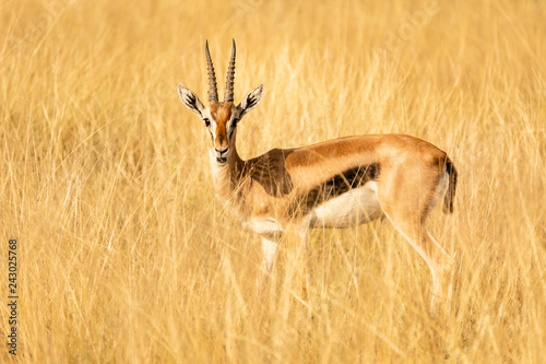 Door stickers Antelope thomson antilope